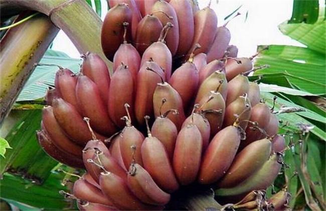 红香蕉多少钱一斤