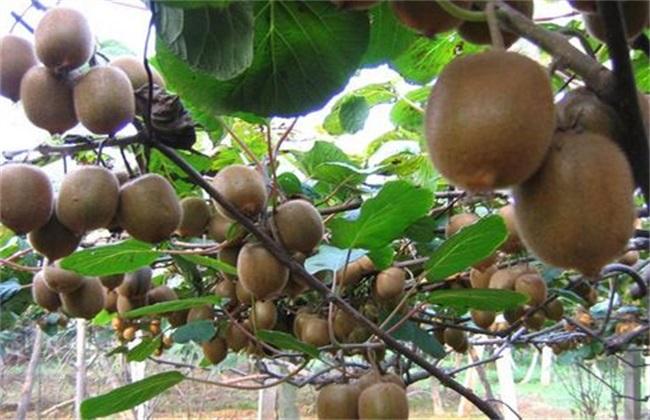 猕猴桃 环境要求 种植