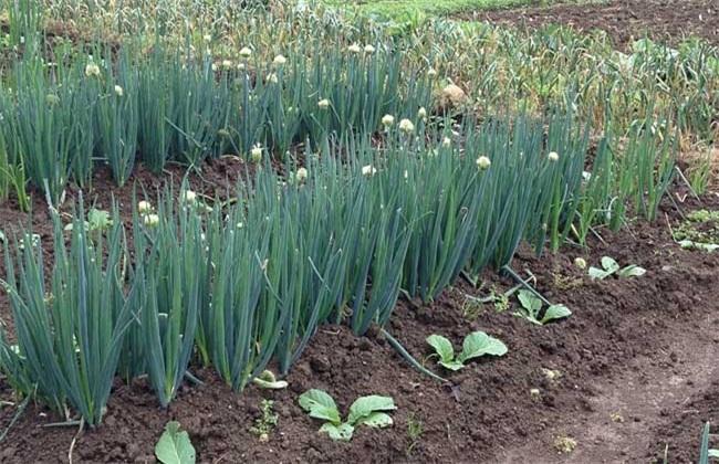 大葱种植方法