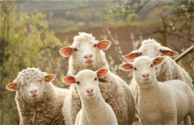 冬季养殖绵羊的管理要点