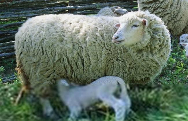 绵羊 管理要点 养殖