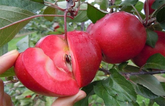 红肉苹果多少钱一斤