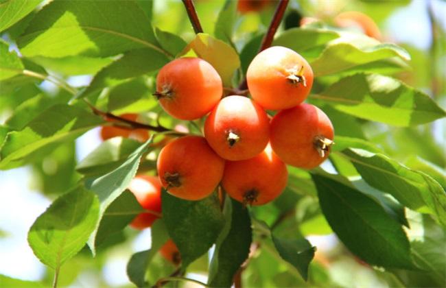 海棠果的种植方法