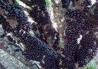 树葡萄多少钱一斤