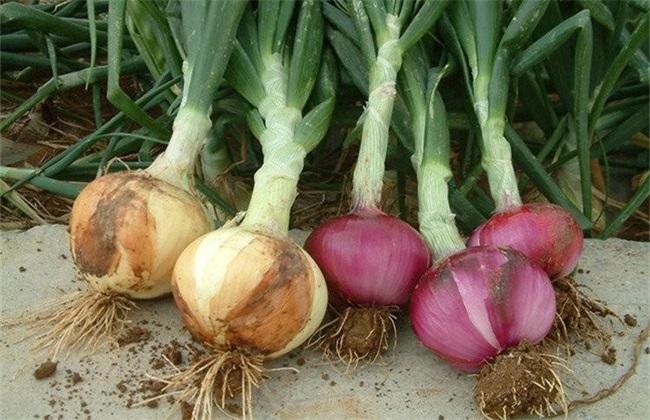 洋葱 具体流程 种植