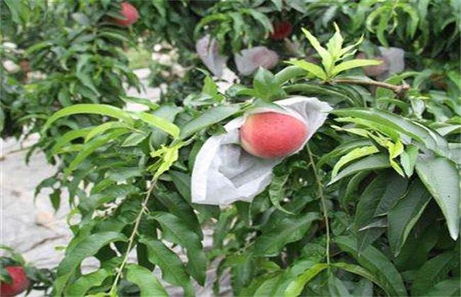 套袋 桃树 方法