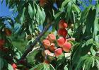 桃树套袋后的果园管理