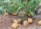 马铃薯种植的注意事项