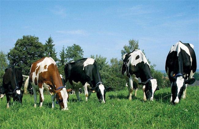 奶牛养殖比较麻烦的几个点