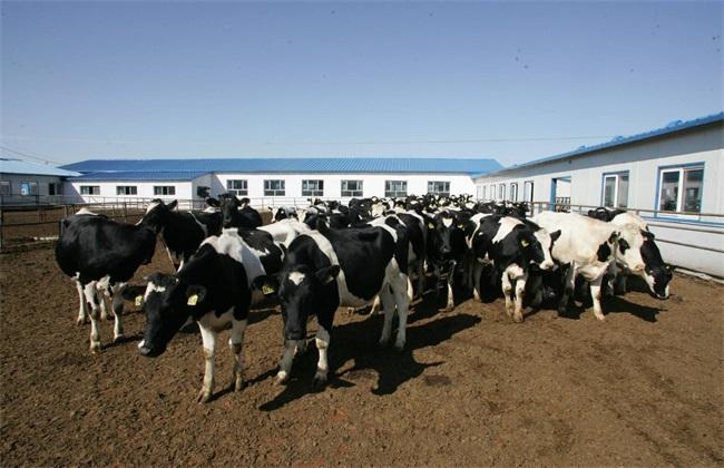 奶牛 养殖 麻烦