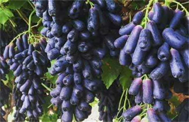 蓝宝石葡萄苗多少钱一棵