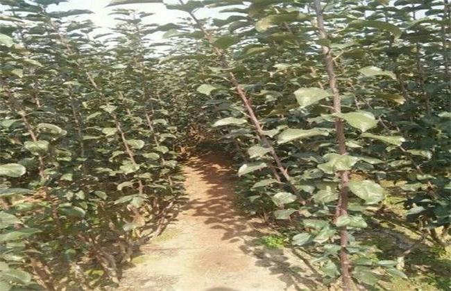苹果种子种植方法