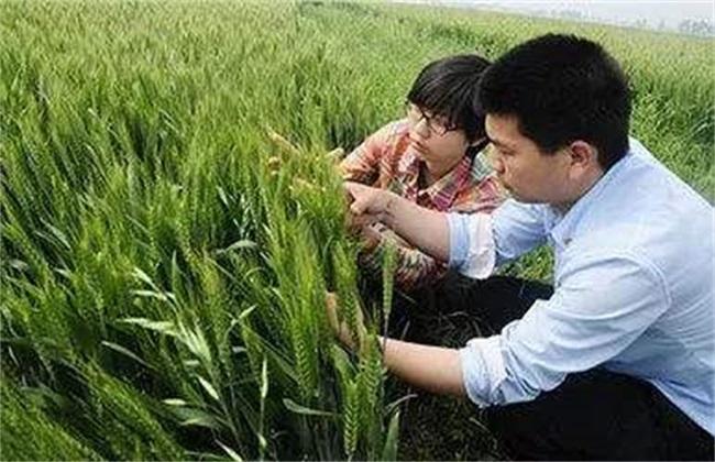 小麦 注意事项 播种