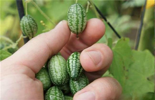 拇指西瓜种植方法