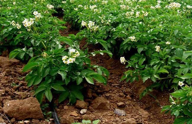 土豆高产施肥方法