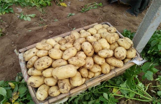 高产 土豆 施肥方法