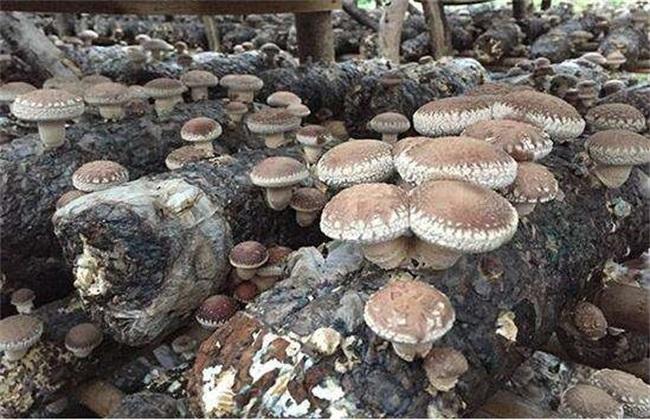 香菇 管理方法 秋季