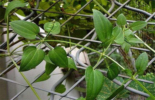茜草种植技术