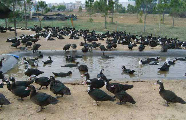 火鸭养殖方法