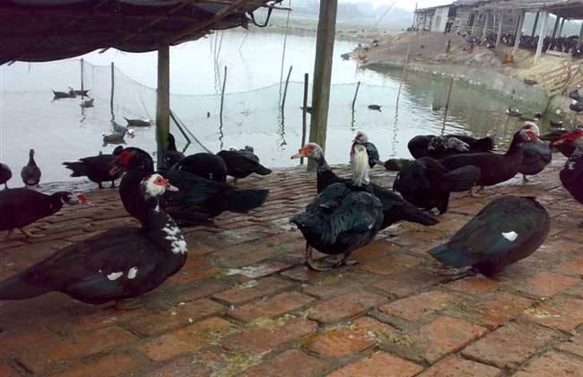方法 火鸭 养殖