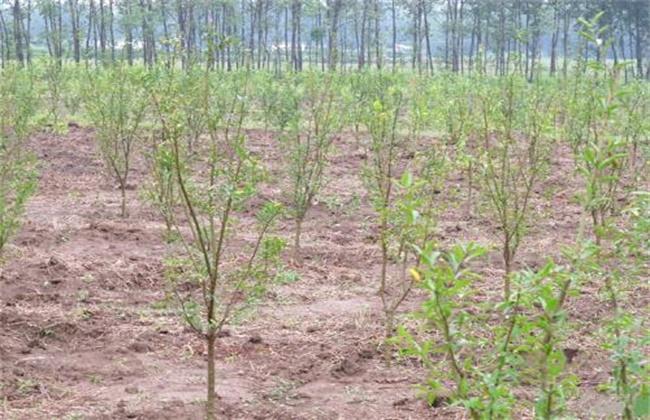 软籽石榴种植技术