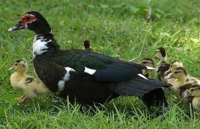 火鸭的饲养管理