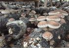 秋季香菇的管理方法
