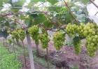 阳光玫瑰葡萄种植技术