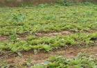 生地的种植技术