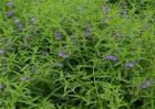 黄芩的种植前景