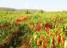 种植辣椒的注意事项