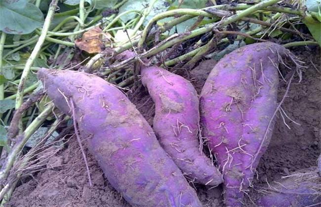 紫薯的种植技术