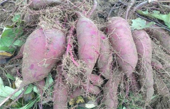 方法 种植 紫薯
