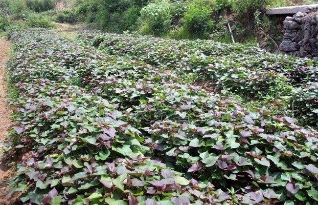 紫薯常见病虫害及防治