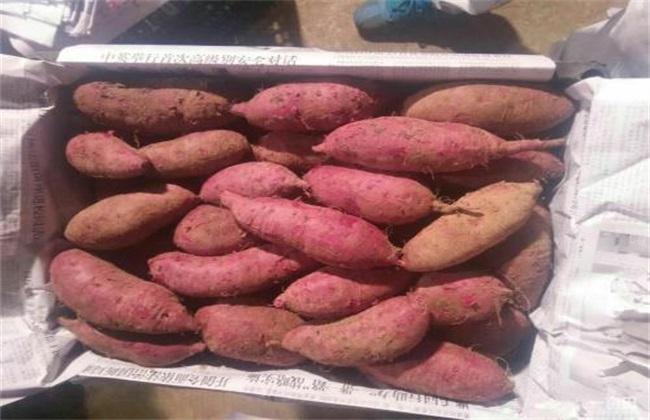 常见病虫害 防治方法 紫薯