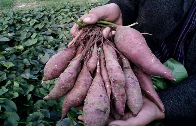 紫薯的田间管理