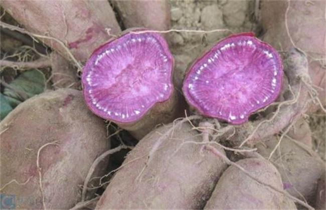 田间管理 紫薯 种植