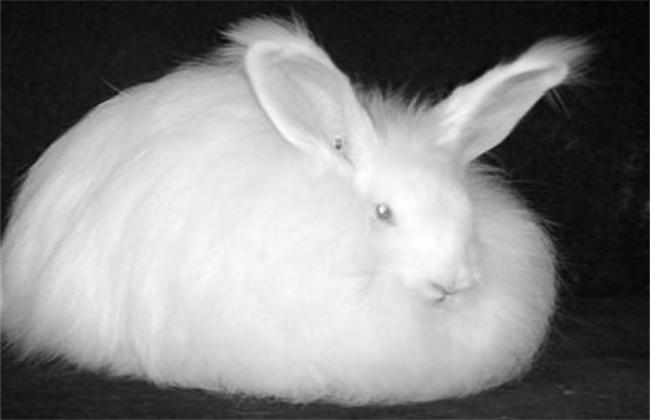 长毛兔价格
