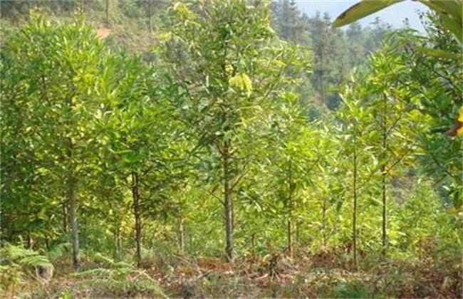 肉桂的种植方法