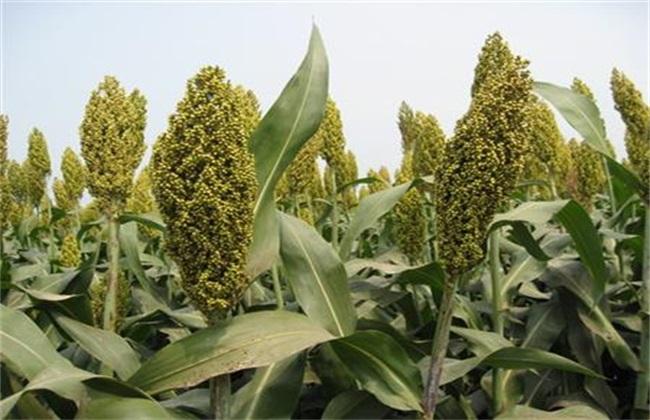田间管理 高粱 种植