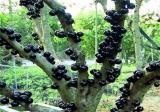 嘉宝果怎么种植