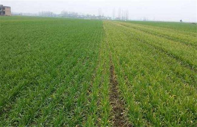 小麦播种不出苗怎么办