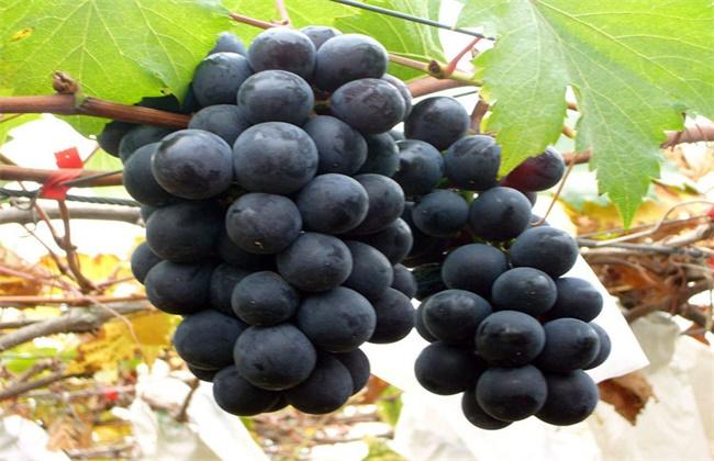 2018年巨峰葡萄价格多少钱一斤