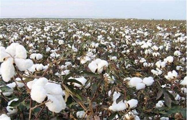 棉花 施肥 注意事项