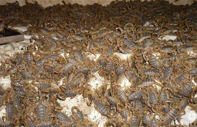 蝎子养殖方法