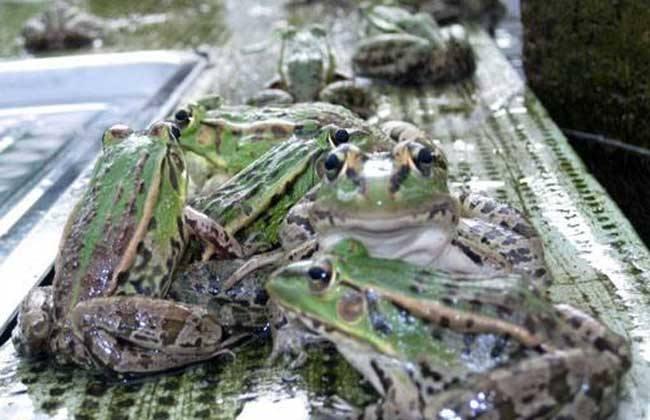 常见疾病 青蛙 防治方法