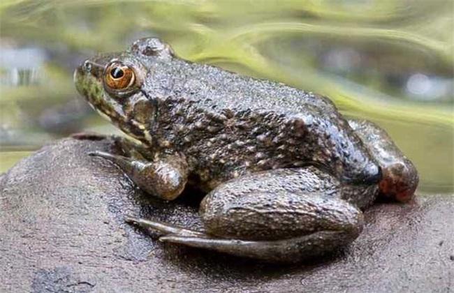 牛蛙的饲养管理