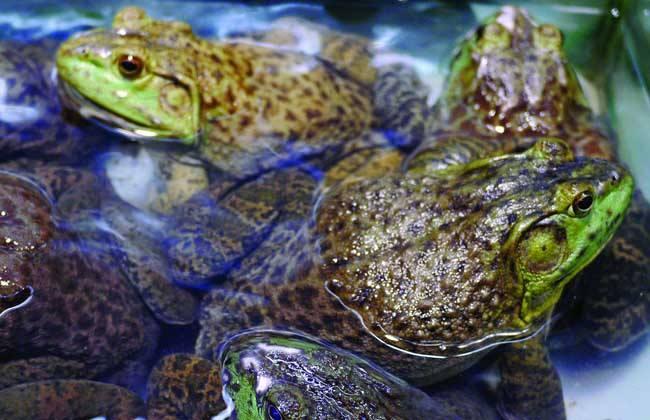 饲养管理 牛蛙 方法