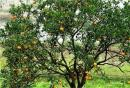 柑橘树修剪技术