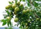 酸枣的种植方法